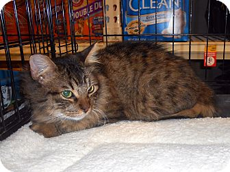 Domestic Mediumhair Cat for adoption in College Station, Texas - Tabby Guy
