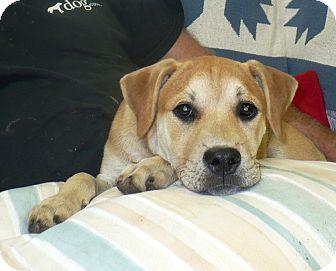 Boxer/Labrador Retriever Mix Puppy for adoption in Eastpoint, Florida - Taylor