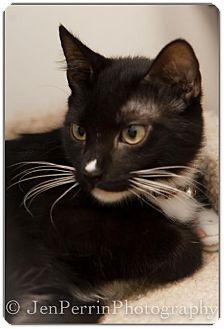 Domestic Shorthair Cat for adoption in Houston, Texas - Karlton