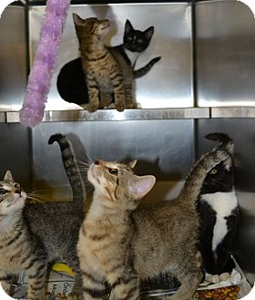 Domestic Shorthair Kitten for adoption in Mineral, Virginia - Kittens Five