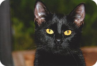 Domestic Shorthair Cat for adoption in Forked River, New Jersey - Suria