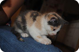 American Shorthair Kitten for adoption in Bay City, Michigan - Pastel