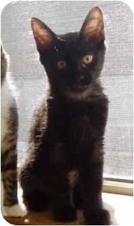 Domestic Shorthair Kitten for adoption in Sacramento, California - Sabella
