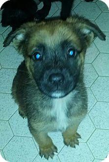 Shepherd (Unknown Type) Mix Puppy for adoption in Mantua, New Jersey - Zand