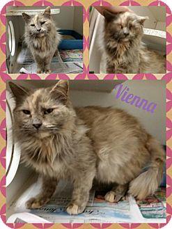 Domestic Longhair Cat for adoption in Louisburg, North Carolina - Vienna