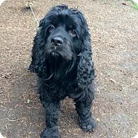Adopt A Pet :: OPRAH - Tacoma, WA