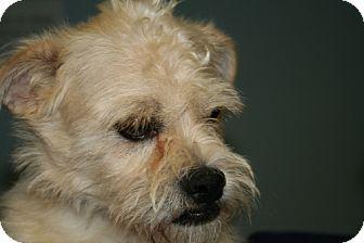 Poodle (Miniature)/Pug Mix Dog for adoption in Phoenix, Arizona - Theo
