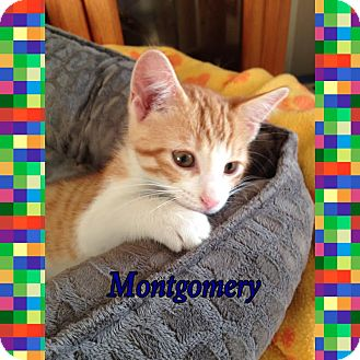 Domestic Shorthair Kitten for adoption in Toledo, Ohio - Montogomery