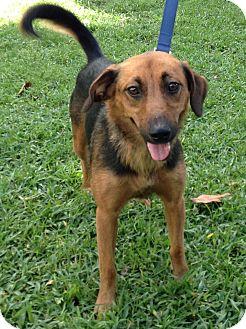 Sheltie, Shetland Sheepdog Mix Dog for adoption in Boca Raton, Florida - Zena