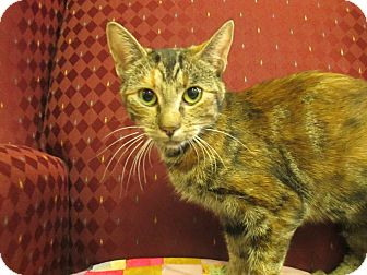 Domestic Shorthair Cat for adoption in Lloydminster, Alberta - Pudd'N