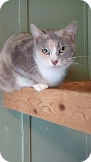 American Shorthair Cat for adoption in North, Virginia - Holly