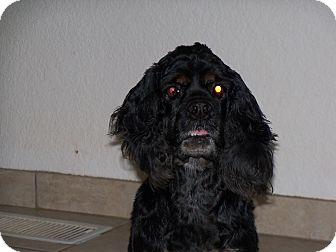 Cocker Spaniel Dog for adoption in Apache Junction, Arizona - Muffin
