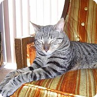 Adopt A Pet :: Tiger - Rochester, NY