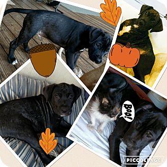 Labrador Retriever Mix Puppy for adoption in Media, Pennsylvania - BOOMER