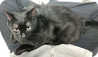 Bombay Cat for adoption in Union, New Jersey - Snow
