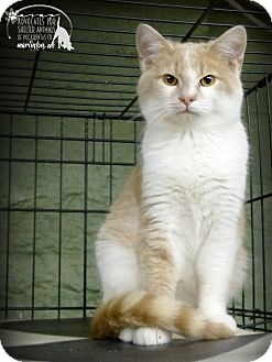Domestic Shorthair Kitten for adoption in Marlinton, West Virginia - Chase--RESCUED!