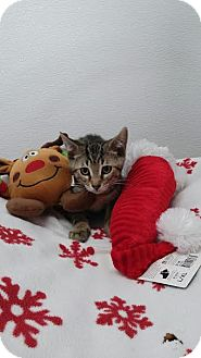 Domestic Shorthair Kitten for adoption in China, Michigan - Rickey