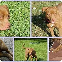 Adopt A Pet :: Meerah - Homestead, FL