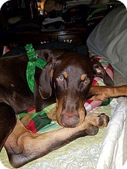 Doberman Pinscher Mix Puppy for adoption in Cincinatti, Ohio - Ruger