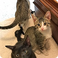 Adopt A Pet :: Ginger's Kittens: Hyde, Jackie, Kitty, Red & Donna - Brooklyn, NY