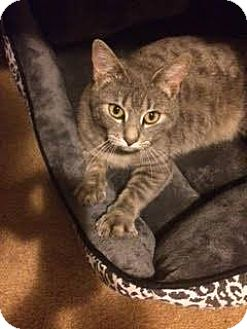 Domestic Shorthair Cat for adoption in Quail Valley, California - Pearl