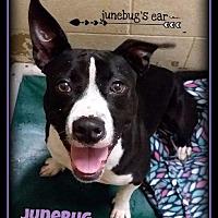 Adopt A Pet :: Junebug - Hartford City, IN