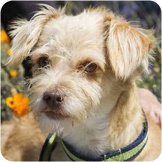 Poodle (Miniature) Mix Puppy for adoption in Berkeley, California - Archie