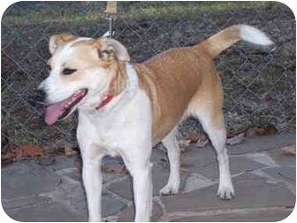 Terrier (Unknown Type, Small) Mix Dog for adoption in Spring Valley, New York - PJ