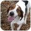 Photo 4 - Treeing Walker Coonhound Dog for adoption in Columbus, Nebraska - Joe