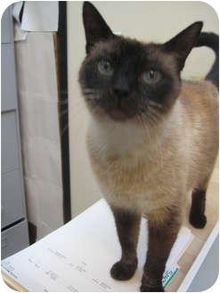 Siamese Cat for adoption in Portland, Oregon - Dawn