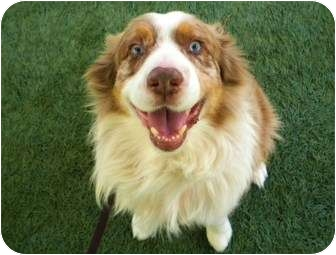 Australian Shepherd Dog for adoption in Mission Viejo, California - Archie