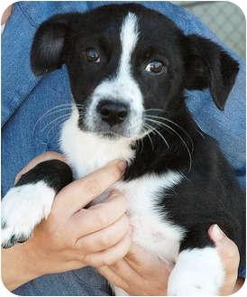 Border Collie/Labrador Retriever Mix Puppy for adoption in Ripley, Tennessee - Ringo (1324)