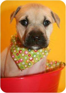 Pit Bull Terrier/Mastiff Mix Puppy for adoption in Bedford, Texas - Marilyn