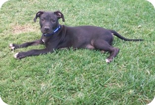 American Staffordshire Terrier Mix Puppy for adoption in Tustin, California - King