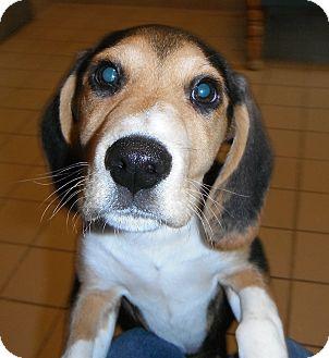 Beagle Mix Puppy for adoption in Jackson, Michigan - Spot