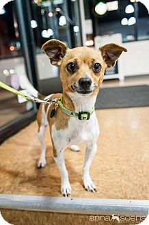 Chihuahua Mix Dog for adoption in Portland, Oregon - Widget