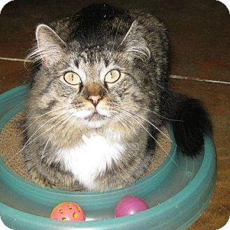 Maine Coon Cat for adoption in Denver, Colorado - Buddy