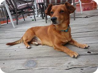 Dachshund/Corgi Mix Dog for adoption in Plainfield, Illinois - Camden