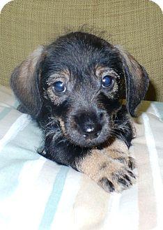 Schnauzer (Miniature)/Dachshund Mix Puppy for adoption in Eastpoint, Florida - Keeper