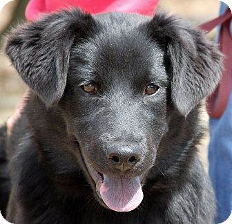 Flat-Coated Retriever Mix Dog for adoption in Stamford, Connecticut - Haley