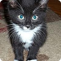 Adopt A Pet :: Bowtie - Acme, PA