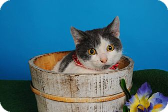 Domestic Shorthair Cat for adoption in mishawaka, Indiana - Lucky - Paw Mart