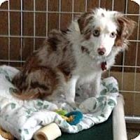 Adopt A Pet :: Olivia - Mt Gretna, PA