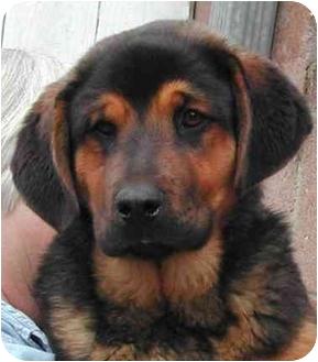 Tibetan Mastiff Mix Puppy for adoption in Rolling Hills Estates, California - Gulliver