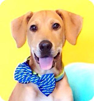 Labrador Retriever Mix Puppy for adoption in Castro Valley, California - Barnie