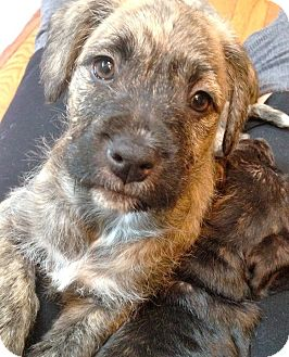 American Bulldog/Irish Wolfhound Mix Puppy for adoption in San Francisco, California - Chloe