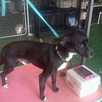 Adopt A Pet :: Lightning - Fresno, CA