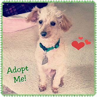Poodle (Miniature) Dog for adoption in North Platte, Nebraska - Dancer