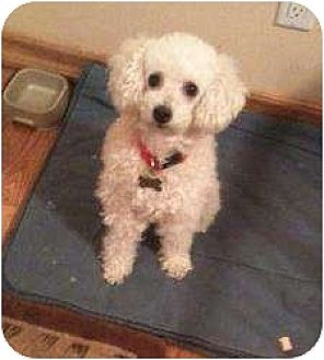 Poodle (Miniature) Dog for adoption in Flushing, New York - Buttercup