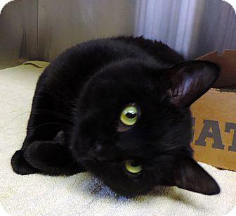 Domestic Shorthair Cat for adoption in Fremont, Nebraska - Ivan
